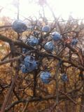 O azul frutifica natureza Imagem de Stock Royalty Free