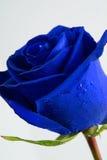O azul levantou-se Fotografia de Stock Royalty Free