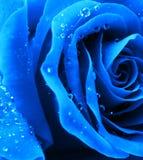 O azul levantou-se Fotos de Stock