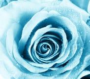 O azul levantou-se Imagens de Stock Royalty Free