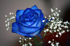O azul levantou-se Imagem de Stock Royalty Free