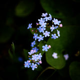 O azul pequeno bonito esquece-me não flores Imagens de Stock Royalty Free