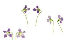 O azul pressionado e secado floresce a violeta da floresta Fotografia de Stock Royalty Free