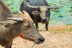 O búfalo é máquina da vida do fazendeiro no canal fotografia de stock