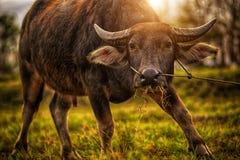 O búfalo imagem de stock
