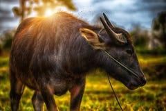 O búfalo foto de stock
