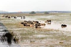 O búfalo Fotografia de Stock Royalty Free