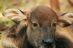 O búfalo da mãe está nutrindo seu bebê tailândia fotografia de stock