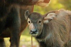 O búfalo da mãe está nutrindo seu bebê tailândia imagem de stock