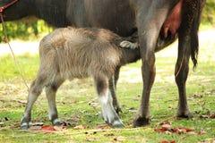 O búfalo da mãe está nutrindo seu bebê tailândia foto de stock royalty free