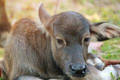 O búfalo da mãe está nutrindo seu bebê tailândia fotografia de stock royalty free