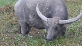 O búfalo de água fêmea ou o búfalo de água asiático doméstico /Bubalus bubalis/comem a grama no pasto vídeos de arquivo