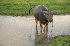 O búfalo defeca na água Imagens de Stock