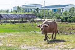 O búfalo do albino (búfalo branco) pasta no prado Foto de Stock