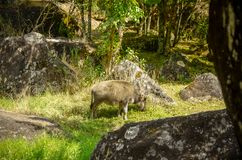 O búfalo do bebê está comendo a grama perto do lado do rio imagem de stock