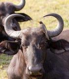 O búfalo do cabo é preparado por um Oxpecker faturado amarelo Foto de Stock