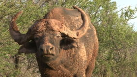 O búfalo do cabo dá o aviso vídeos de arquivo