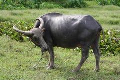 O búfalo em Tailândia Imagem de Stock Royalty Free