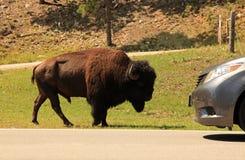 O búfalo encontra o carro ao longo da estrada das agulhas foto de stock