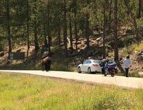 O búfalo encontra o carro ao longo da estrada das agulhas Imagens de Stock