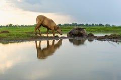 O búfalo está comendo a grama ao longo do rio foto de stock royalty free