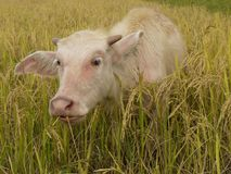 O búfalo paire fotos de stock royalty free