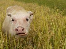 O búfalo paire fotografia de stock royalty free