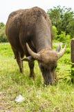 O búfalo pasta. Fotos de Stock
