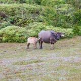 O búfalo selvagem vive na parte 2 da floresta fotografia de stock royalty free
