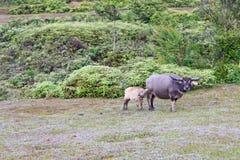 O búfalo selvagem vive na parte 3 da floresta fotos de stock royalty free