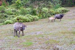 O búfalo selvagem vive na parte 4 da floresta fotografia de stock royalty free