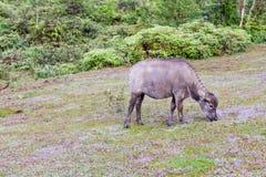 O búfalo selvagem vive na parte 5 da floresta imagens de stock