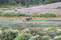 O búfalo selvagem vive na parte 6 da floresta fotos de stock royalty free