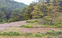 O búfalo selvagem vive na parte 7 da floresta fotografia de stock
