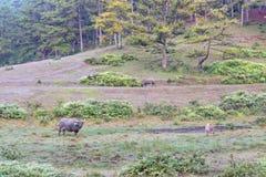 O búfalo selvagem vive na parte 8 da floresta fotografia de stock royalty free