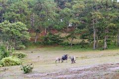 O búfalo selvagem vive na parte 9 da floresta fotos de stock