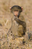 O babuíno bonito do bebê senta-se na grama marrom que aprende sobre a natureza que t Fotografia de Stock Royalty Free