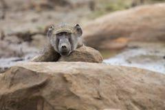 O babuíno de Chacma cansado senta-se em rochas para descansar após o dia difícil imagens de stock