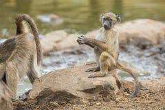 O babuíno de Chacma cansado senta-se em rochas para descansar após o dia difícil imagens de stock royalty free