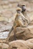 O babuíno de Chacma cansado senta-se em rochas para descansar após o dia difícil fotos de stock