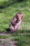 O babuíno do bebê senta-se imagens de stock royalty free