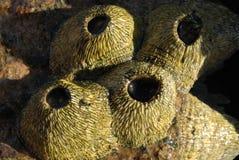 O Balanus é um gênero das cracas no Balanidae da família Fotografia de Stock Royalty Free