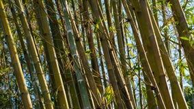 O bambu inclina-se à esquerda com Sun à direita foto de stock