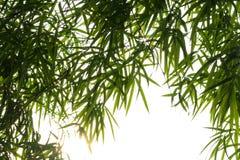 O bambu sae do isolado do fundo Fotografia de Stock