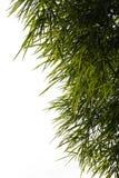 O bambu sae do isolado do fundo Imagem de Stock Royalty Free