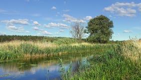 O banco do rio, coberto de vegetação com os juncos no verão fotografia de stock royalty free