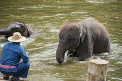 O banho dos Mahouts e limpa os elefantes no rio Imagens de Stock