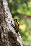 O barbet marrom-dirigido ou os grande zeylanicus verde de Psilopogon do barbet [2] imagem de stock