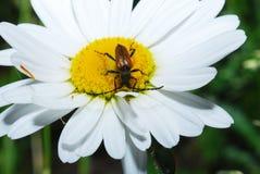 O barbo do besouro de Brown tem flores amarelas pequenas do pólen, no dia de verão Barbo do besouro fotos de stock royalty free
