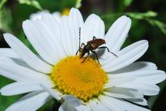 O barbo do besouro de Brown tem flores amarelas pequenas do pólen, no dia de verão Barbo do besouro fotografia de stock